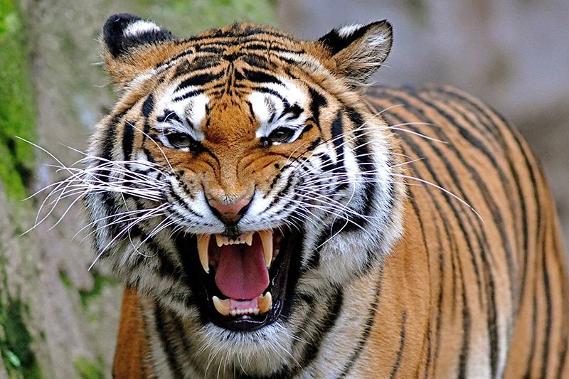 बाघको आक्रमणबाट बच्न दिगो उपाय खोजिँदै
