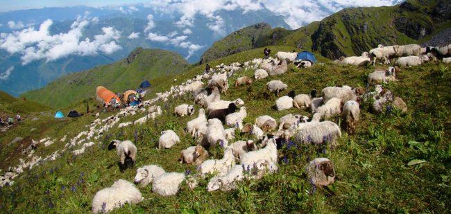 जाजरकोटमा चट्याङ लागेर २३३ भेडा मरे