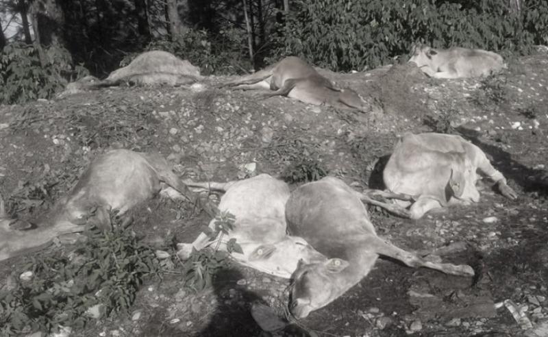 गाई मृत्यु प्रकरण : पक्राउ परेका सात जनालाई म्याद थप