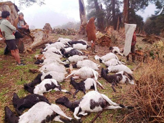 अज्ञात रोगले २० भेडा मरे