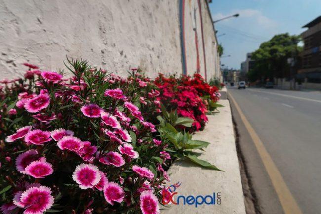लकडाउनको सदुपयोग : काठमाडौँका सडकमा ढकमक्क फूल