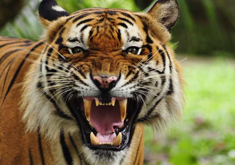 गैँडा गणनामा खटिएका कर्मचारीको बाघको आक्रमणबाट मृत्यु