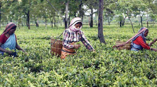 नेपाली चिया किसानलाई धक्का ! भारतले नेपाली चिया आयातमा कडाइ गर्दै
