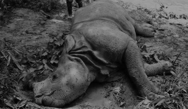 चितवन राष्ट्रिय निकुञ्जमा गैँडाको बच्चा मृत फेला