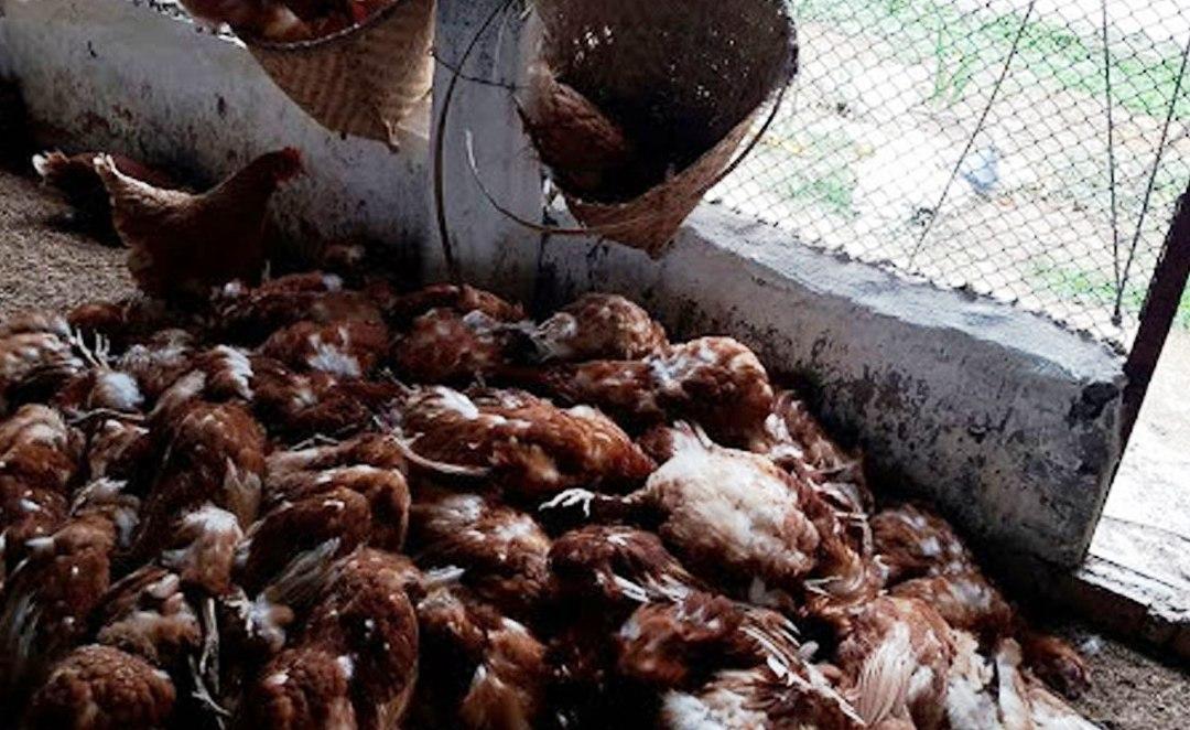 एउटै किसानका पाँच हजार कुखुरा मरे
