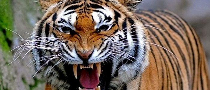 बाघको आक्रमणबाट दुई घाइते, प्रतिकारमा बाघको मृत्यु