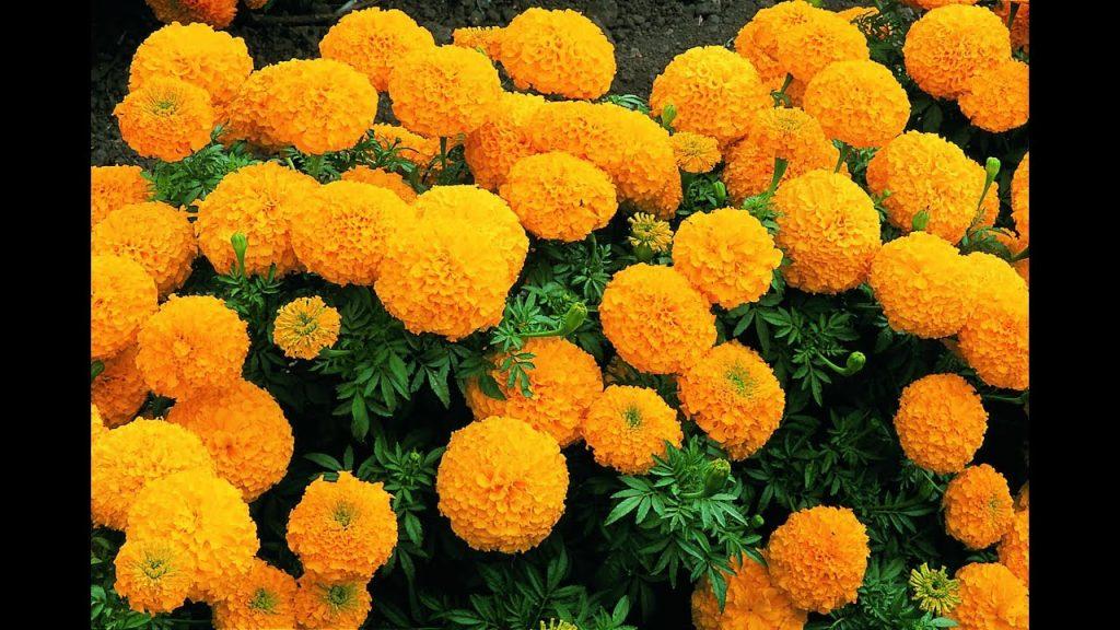 सबैतिर ढकमक्क फुले सयपत्री