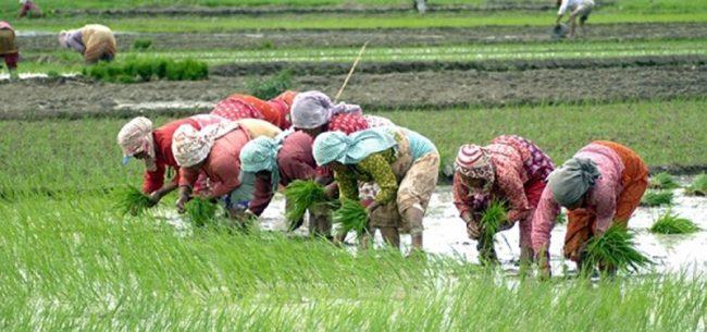 काँठ क्षेत्रका किसानलाई कोरोना बिर्साउँदै धान रोपाइँको चटारो