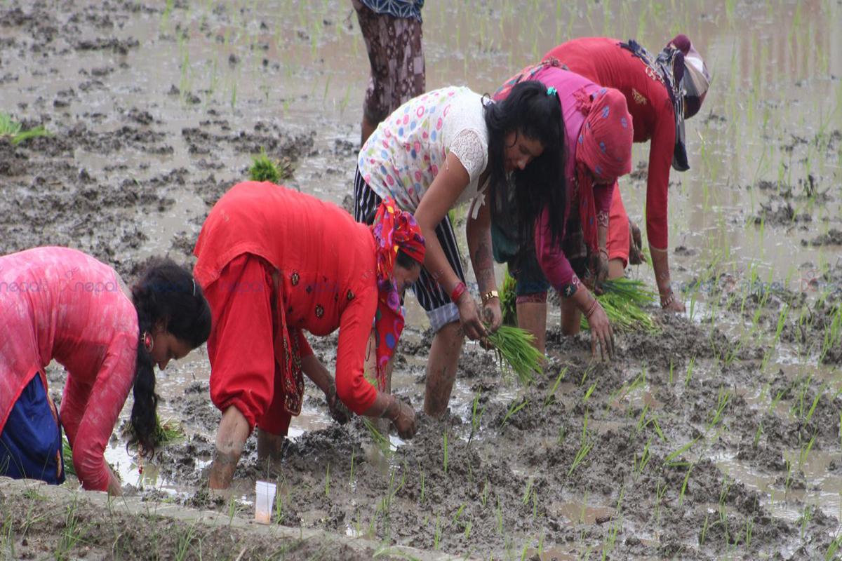असार १५ : किसानलाई रोपाइँको चटारो (फोटोफिचर)