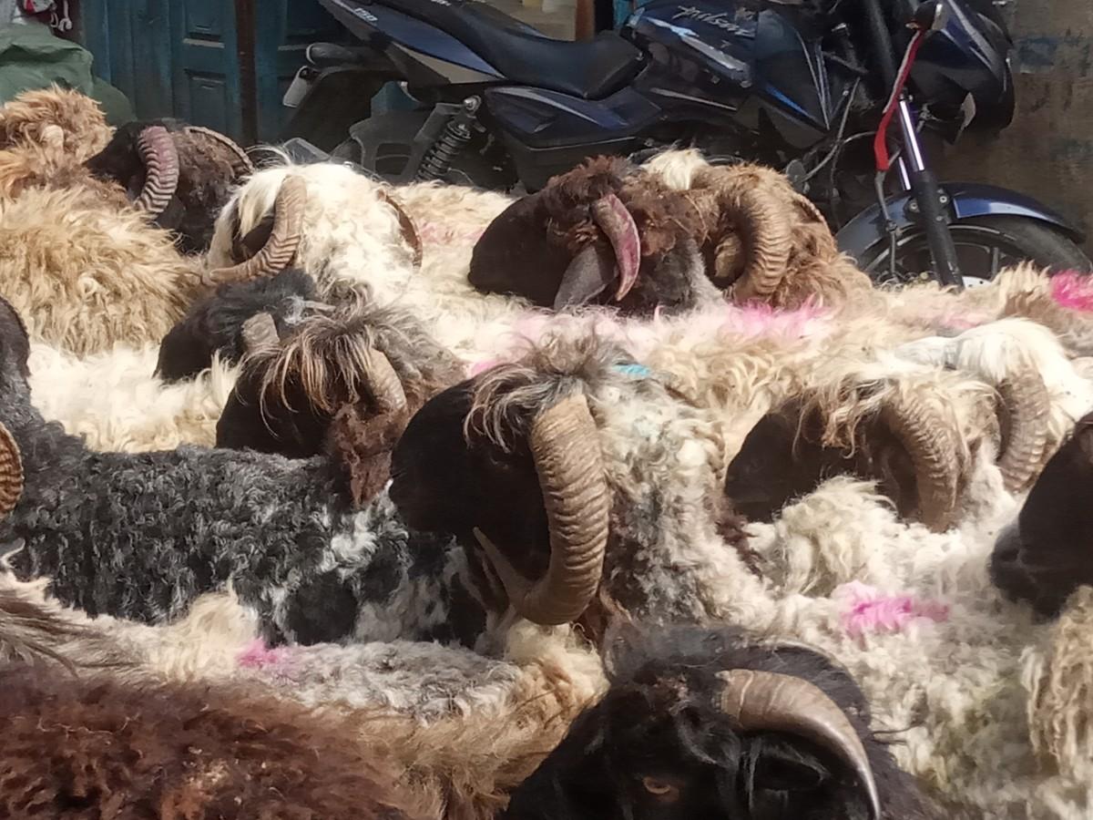 जुम्लामा एउटै भेडाको मुल्य ४५ हजार