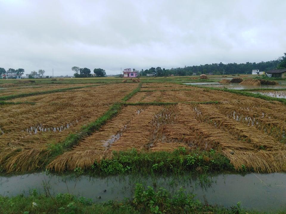 अविरल बर्षाले कृषि वालीमा क्षेति, विहीबारबाट मात्रै मौसममा सुधार