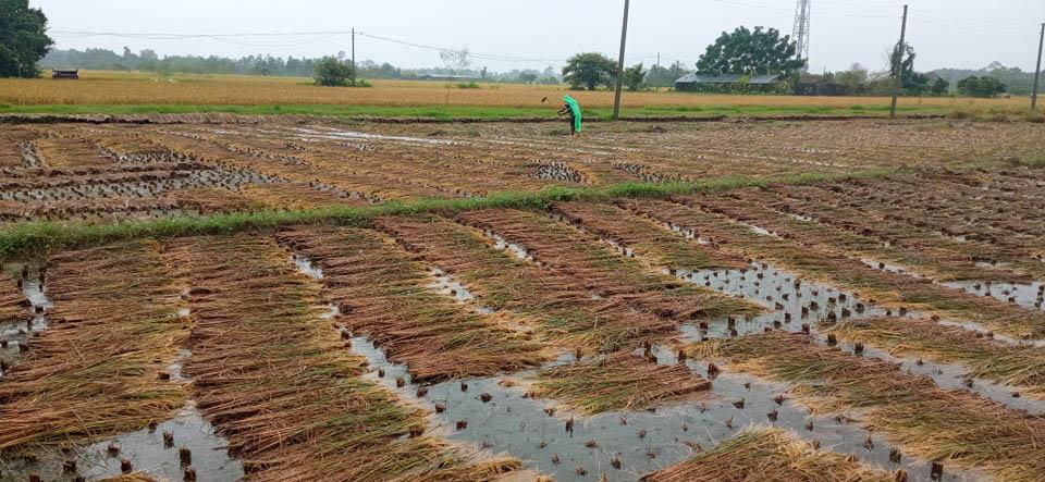 लुम्बिनी प्रदेशमा ३६ हजार हेक्टर खेतको धानबालीमा क्षति