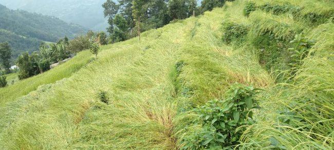 वर्षासँगै चलेको हावाहुरीले बालीनालीमा क्षति